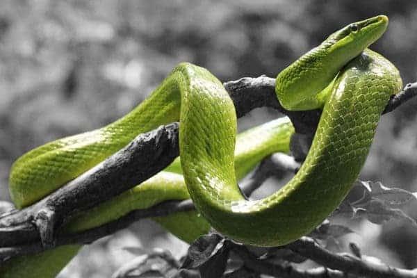 Green snake.