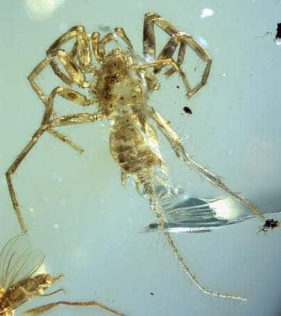 The dorsal view of entire Chimerarachne yingi specimen. Note the long tail-like appendage. Credit: University of Kansas.