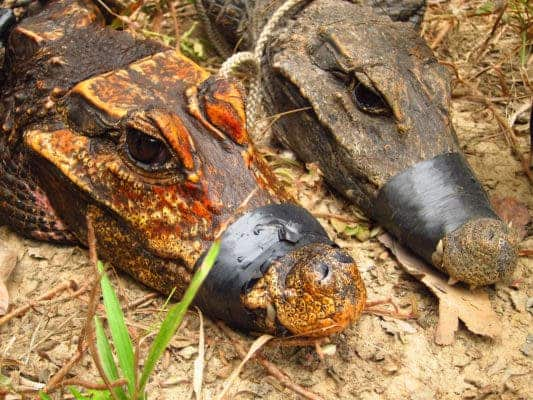 Side-by-side comparisson between cave-dwelling (left) and surface-dwelling African dwarf crocodiles. Credit: Olivier Testa.