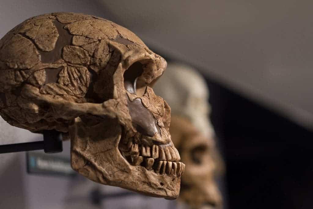 Early human skull.