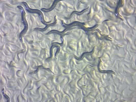 C.elegans.