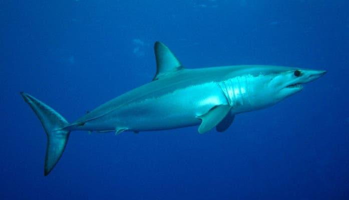 Mako shark (Isurus oxyrinchus). Credit: Wikimedia Commons.
