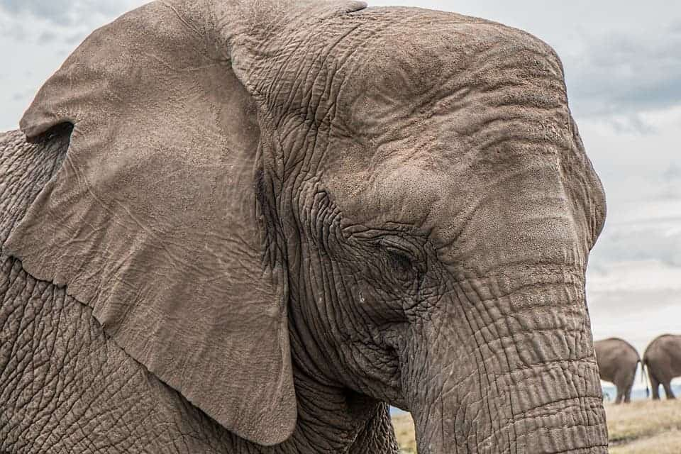 According to the new model, an energetically 'ideal' mammal should have a mass 2.5 times that of modern African Elephants. Credit: Pixabay.