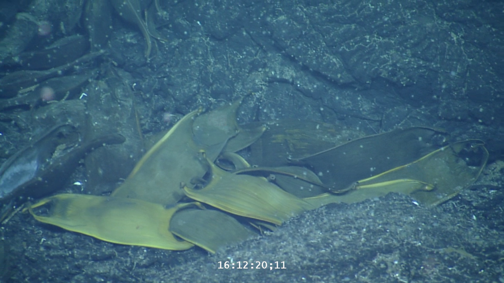 More skate egg cases. Credit: Ocean Exploration Trust.