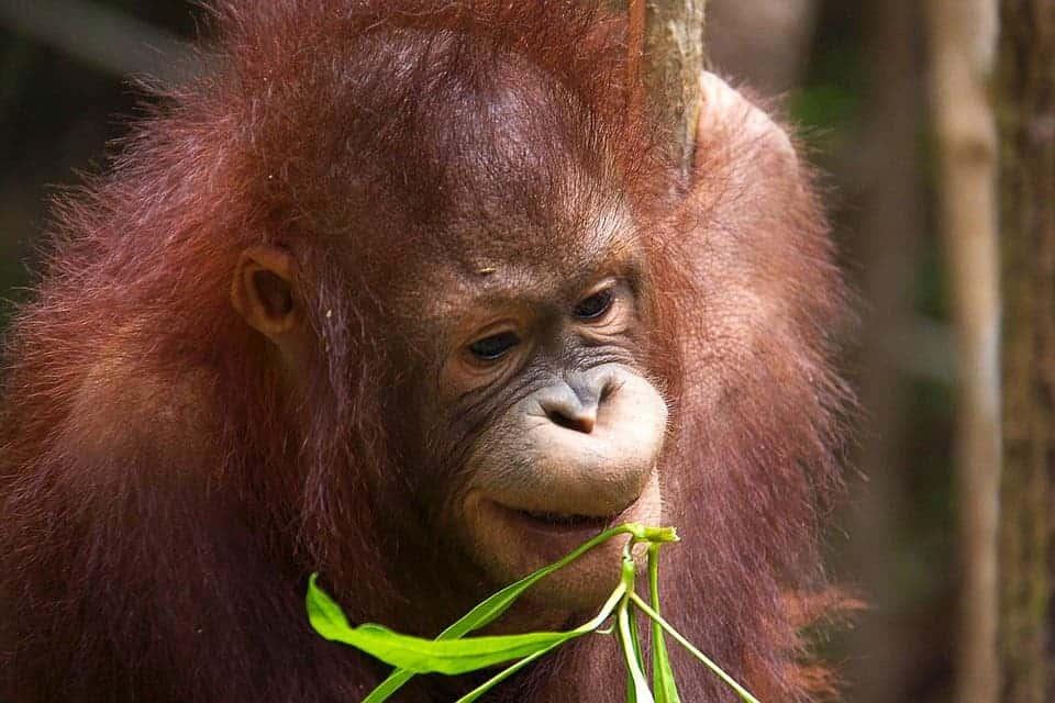 100000 orangutans killed in Borneo
