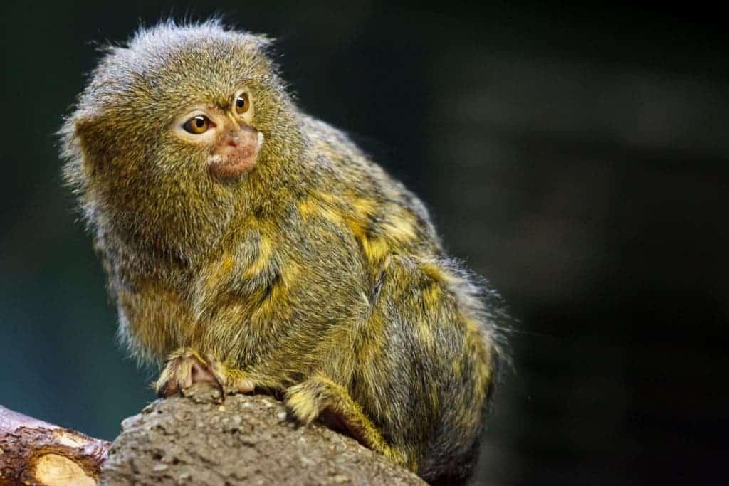 A pygmy marmoset. Credit: Public Domain Pictures.