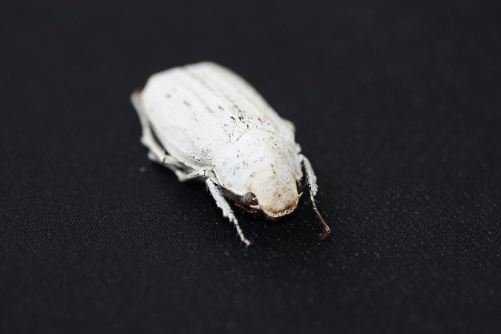 A Cyphochilus beetle, which inspired the super-white coating.