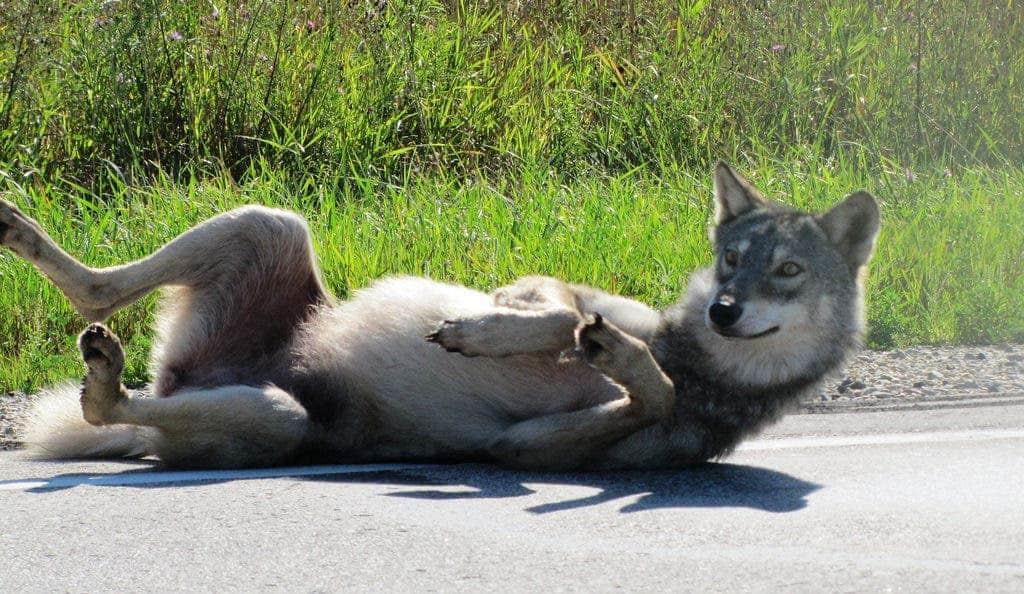 Grey Wolf Female.