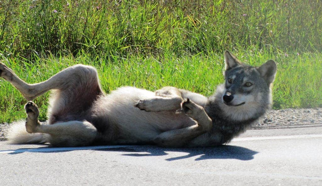 Most Grey Wolves Today Are Actually Wolf Dog Hybrids Due