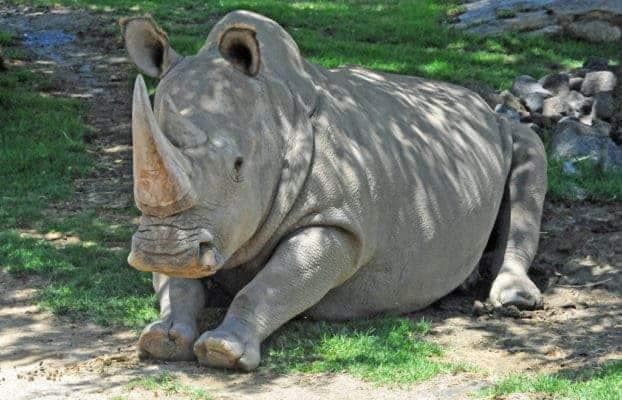 Angalifu rhino.
