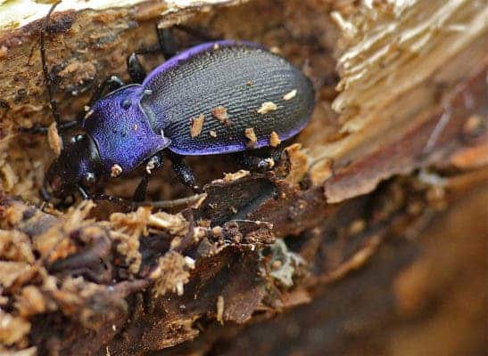 Violet ground beetle.