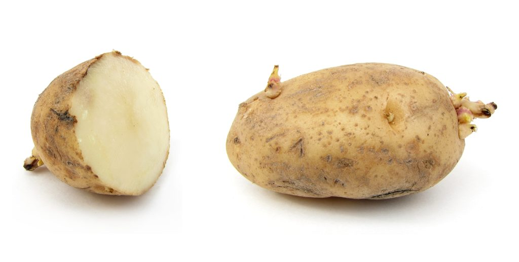 the potato blight Pathogen: phytophthora infestans (late blight) disease: late blight or potato blight not to be confused with early blight which is a different organism that also causes blight type of pathogen: oomycetes, commonly know as water mold, a fungus-like eukaryote closely.