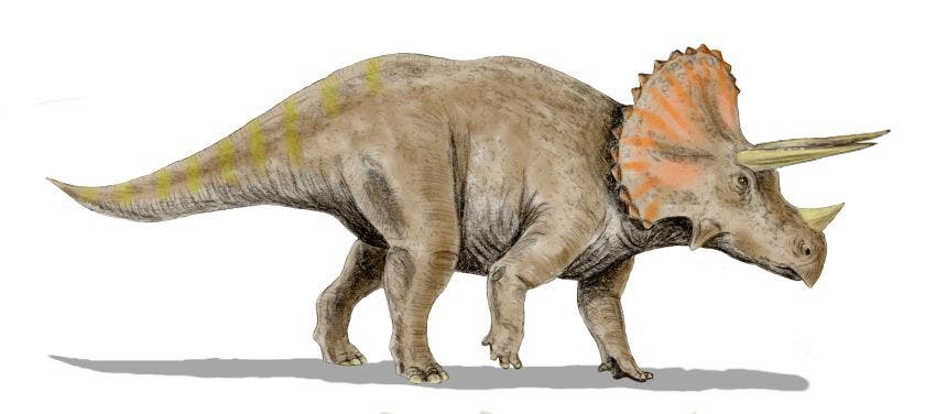 triceratops may have had horns to advertise good genes and attract mates