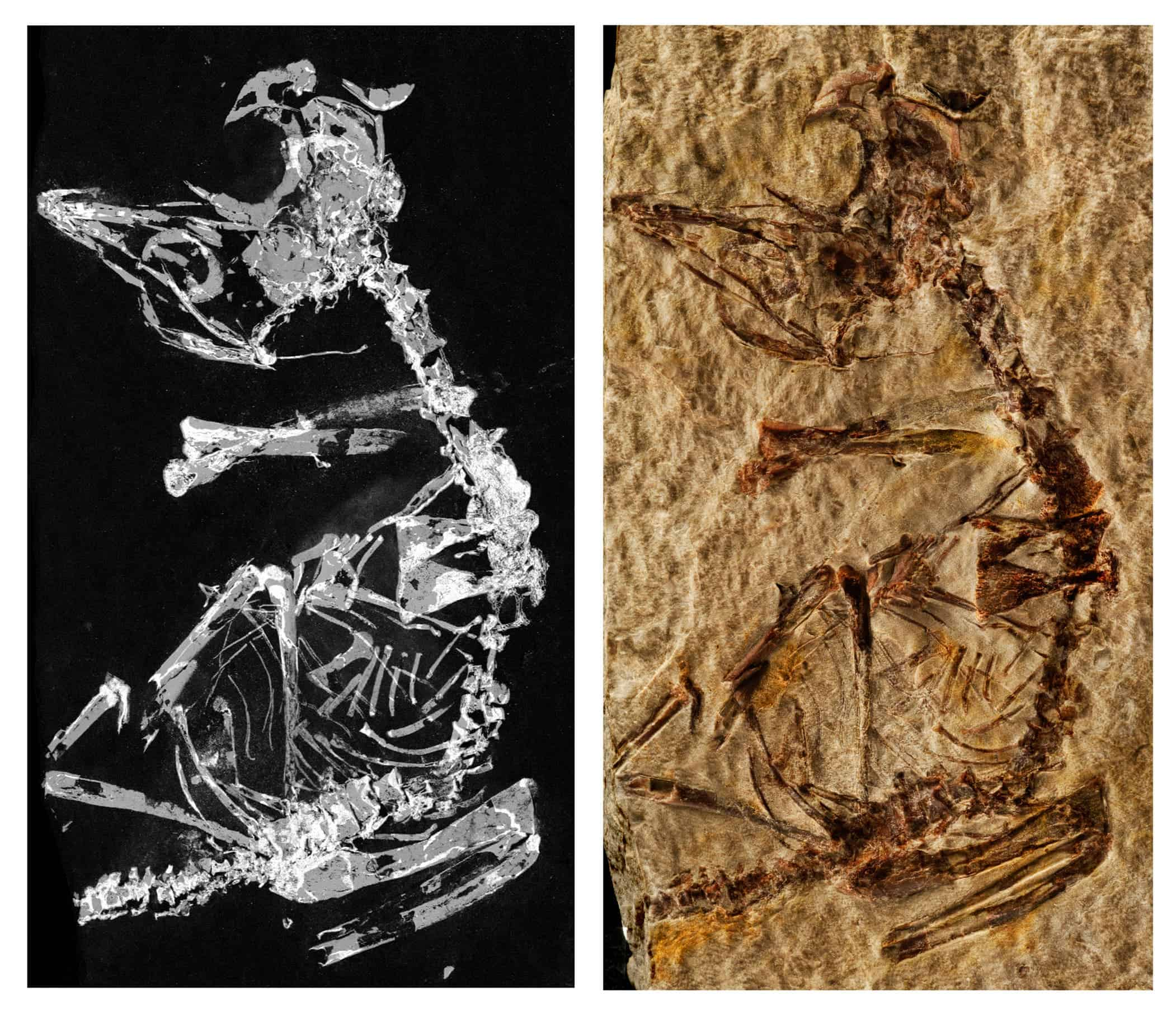 Tiny 127 million year old fossil sheds light on early birds