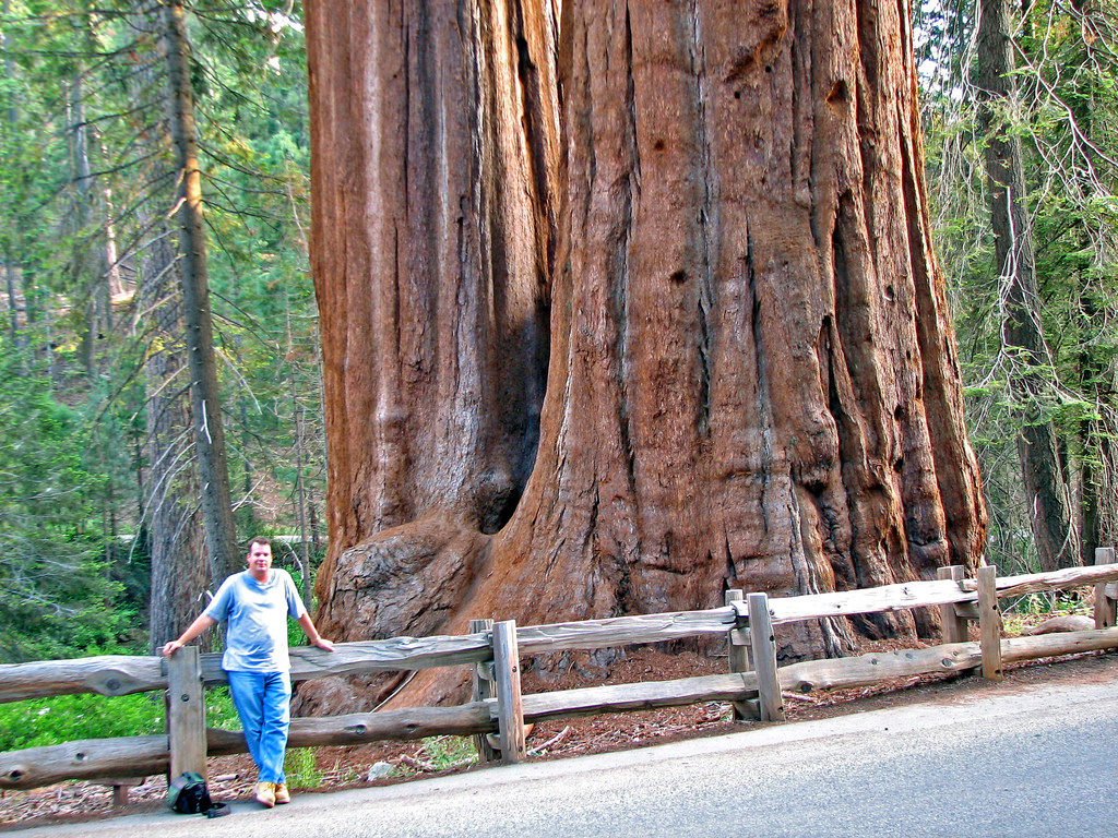 California's famous giant redwoods and giant sequoias are the largest trees in the world. Sequoia National Park has several groves of these enormous plants. Credit: Flickr, James St. John.
