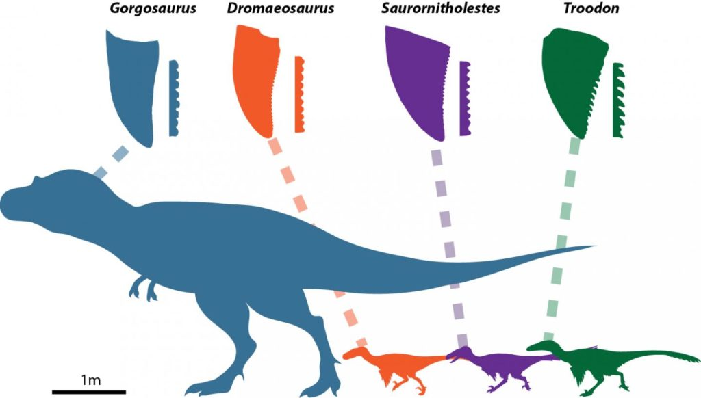 This figure shows different theropod dinosaurs, their teeth, and their different denticle shapes. All teeth are scaled to the same crown height for comparative purposes. Credit: Victoria Arbour.