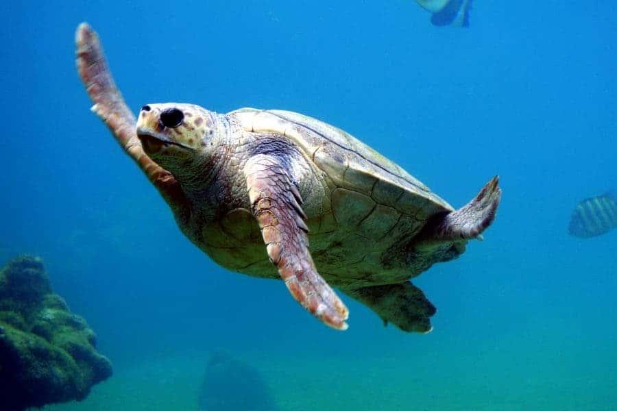 loggerhead turtle swimming
