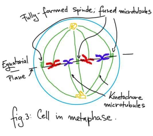 Metaphase.