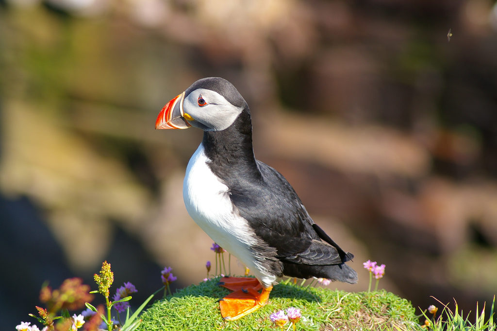 56c645f641e2 Puffins have beaks that glow in UV light to bedazzle mates