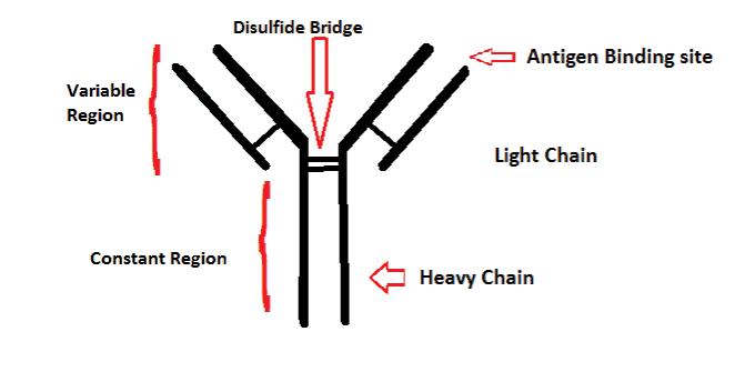 Antibody.