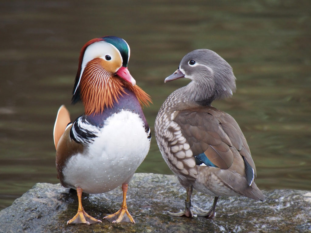 Mandarin ducks, male (left) and female (right), illustrating the dramatic difference between sexes. Credit: Wikimedia Commons.
