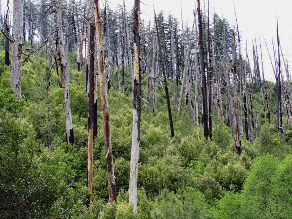 The Bear Fire 1994 shows shrubs in the understory. Credit: Alan Tepley.