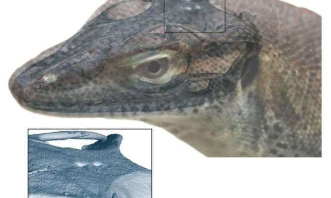 The parietal and pineal foramina in the extinct monitor lizard are visible on the overlaid skull. Credit: Senckenberg Gesellschaft für Naturforschung / Andreas Lachmann.