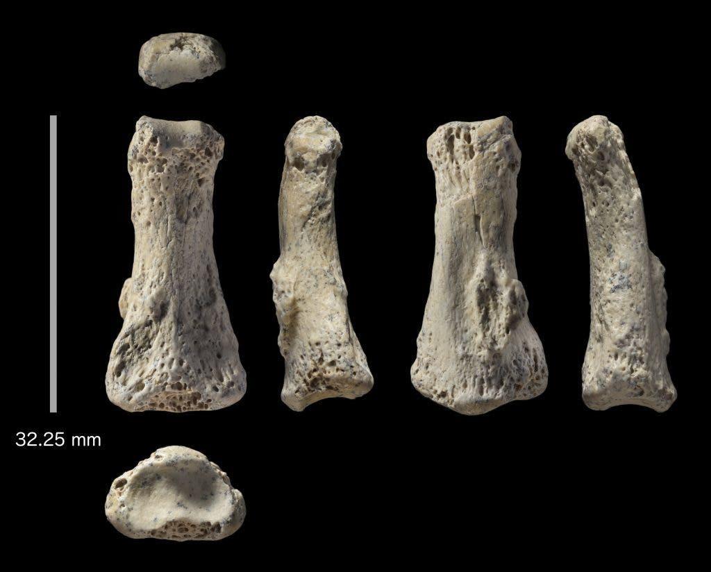 : Fossil finger bone of Homo sapiens from the Al Wusta site, Saudi Arabia. Credit: Ian Cartwright