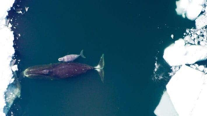 Bowhead mother and calf.