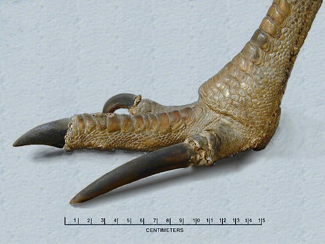 Closeup of a terryfing cassowary claw -- the real life, modern-day Velociraptor. Credit: Featured Creature.