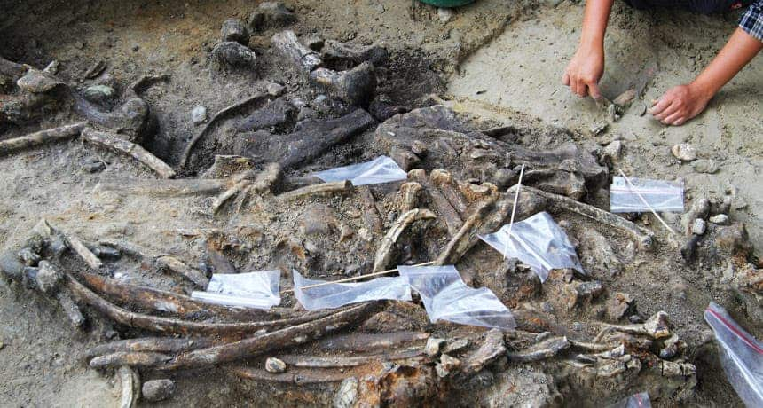 The excavations in the Philippines revealed the earliest evidence of homininds on the islands. Researchers found rhino bones (shown) and stone tools. Credit: T. INGICCO.
