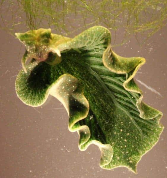 Elysia chlorotica.