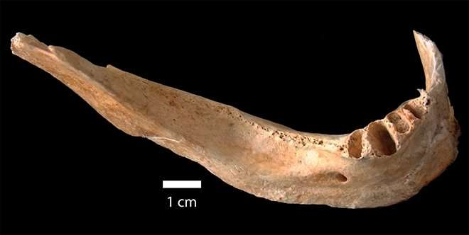 The mandible studied by the researchers. Credit: Credit: Sergio Mascarenhas (IFSC-USP).