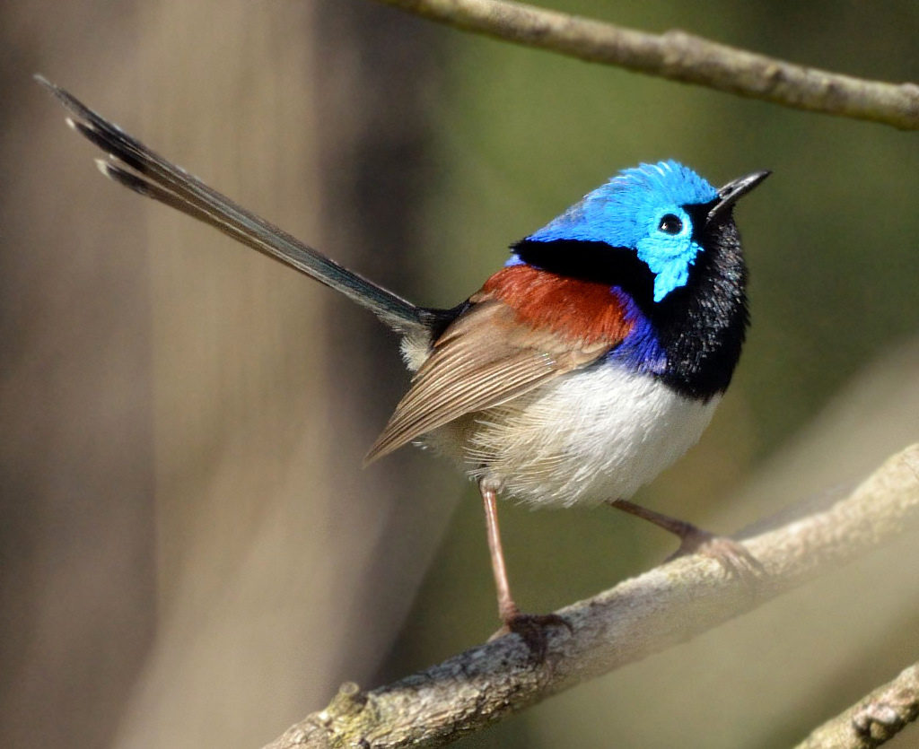 Variegated Fairy-Wren.