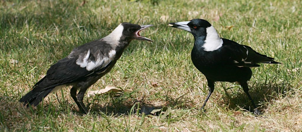 Australian_Magpie_feeding