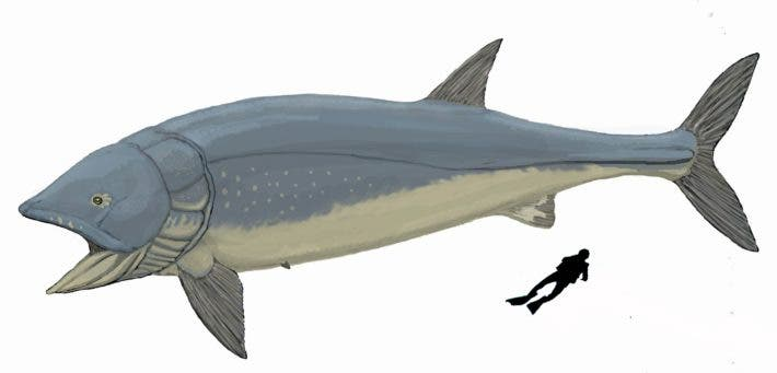 Illustration of giant Jurassic fish Leedsichthys next to human diver for scale. Credit: Wikimedia Commons.