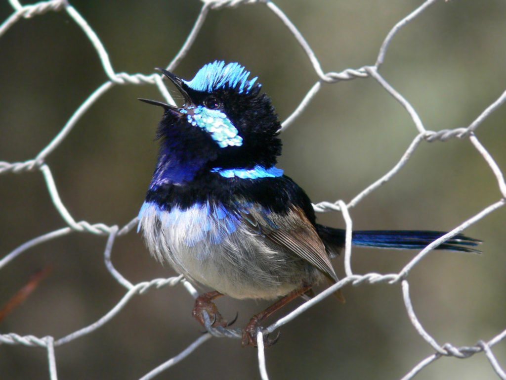 Superb_fairy_wren.
