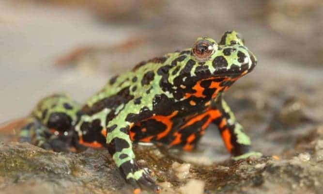A captive Oriental fire-bellied toad (Bombina orientalis) imported into Europe from South Korea. Credit: Frank Pasmans.