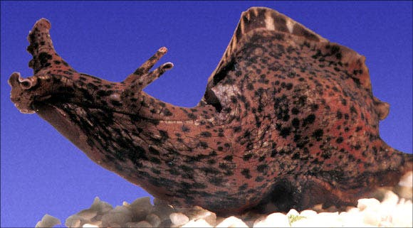 The California sea hare, Aplysia californica. Credit: Wikimedia Commons.