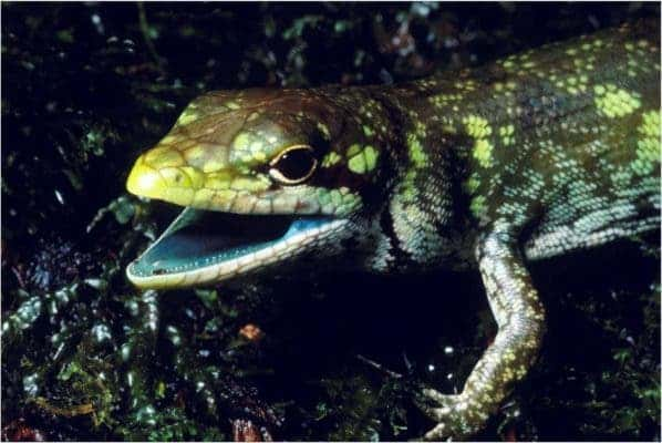 Prasinohaema prehensicauda is a green-blooded lizard with high concentrations of biliverdin, or a toxic green bile pigment, found in New Guinea. Credit: Chris Austin, LSU..