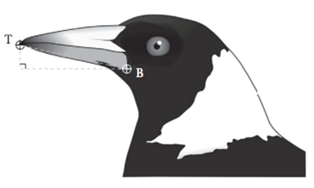 magpie beak angle