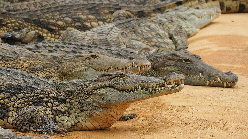Nile crocodiles. Credit: Pixabay.