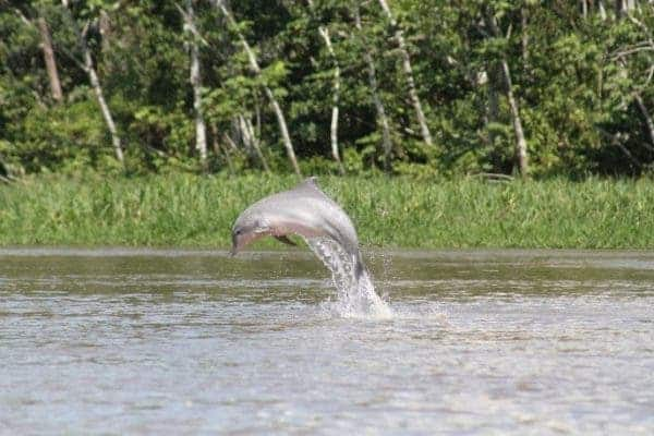 A majestic river dolphin leaping out of the water. Credit: F. da Silva VM.