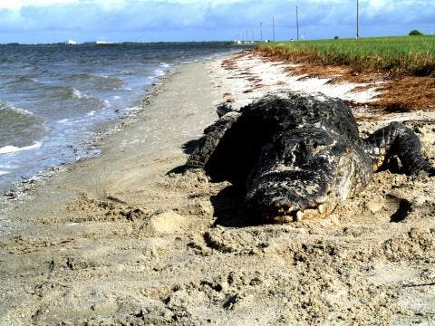 Alligator found sunbathing on an ocean beach in Florida. Credit: Duke University.