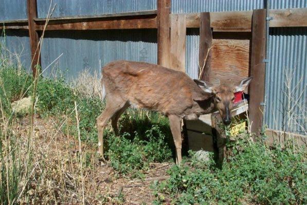Deer CWD.