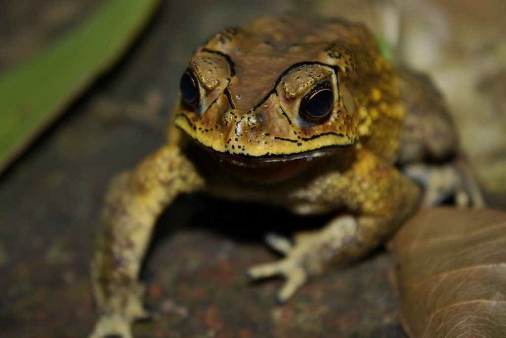 Asian Common Toad (Duttaphrynus melanostictus). Credit; Wikimedia Commons.