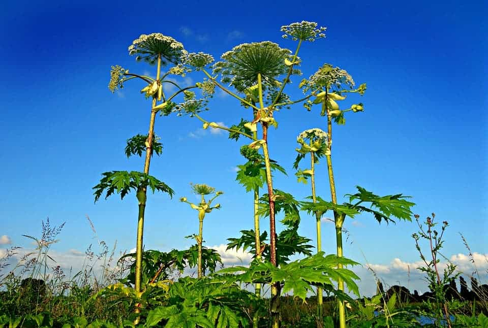The plant giant hogweed burns skin severely