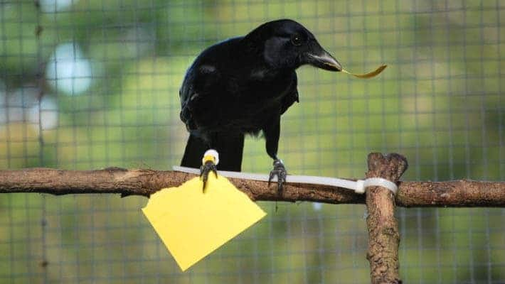 New Caledonian crow that made a paper card from scratch in order to receive a reward. Credit: Sarah Jelbert