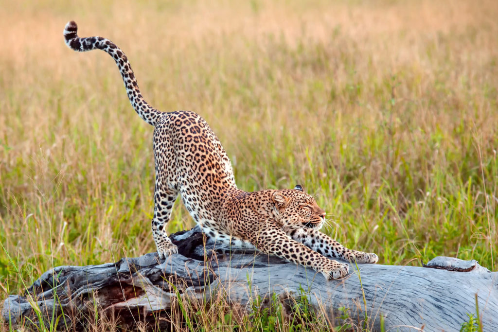 cheetah-stretching-on-a-piece-of-wood