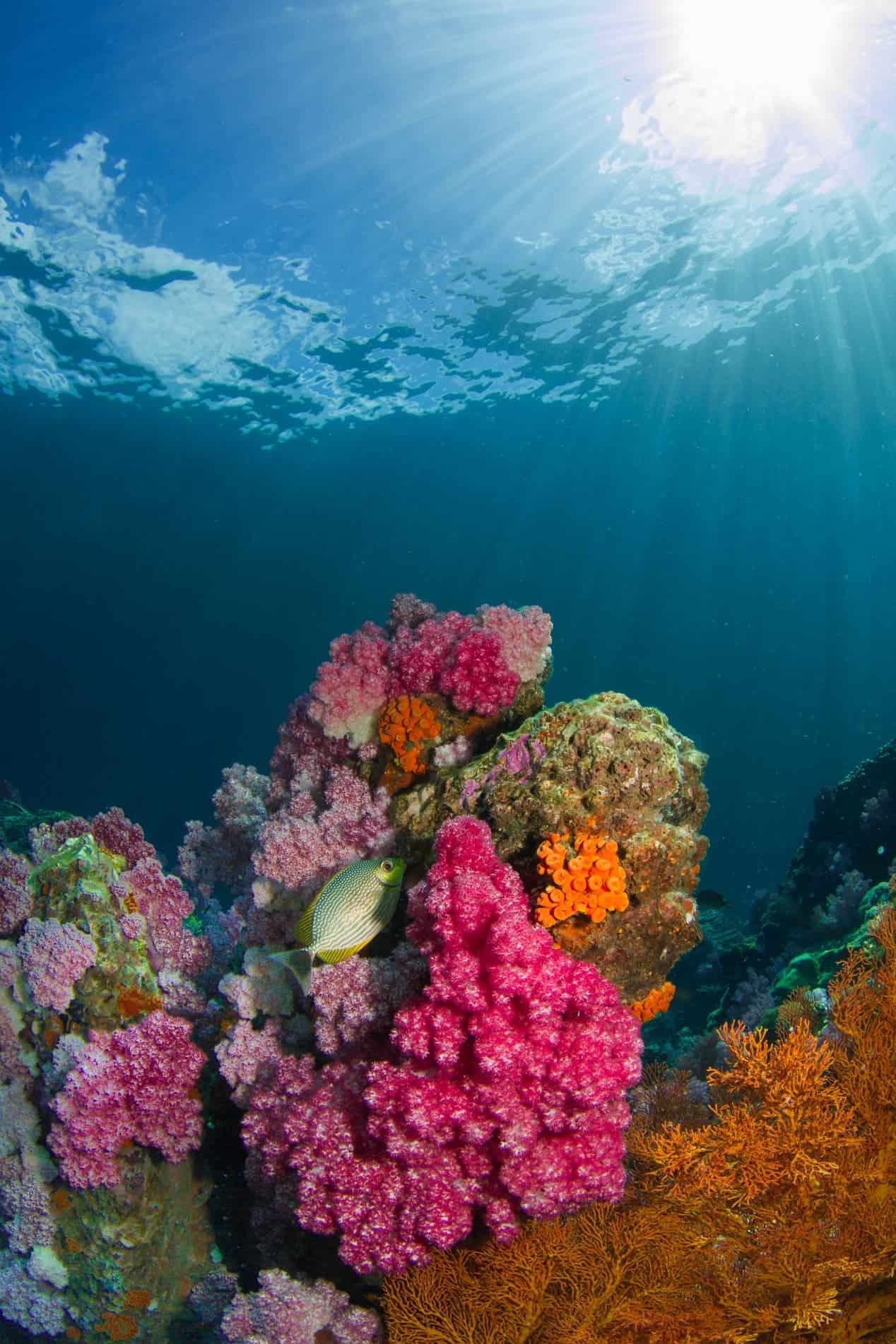 Coral Gratis